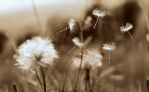 Photo off dandelions